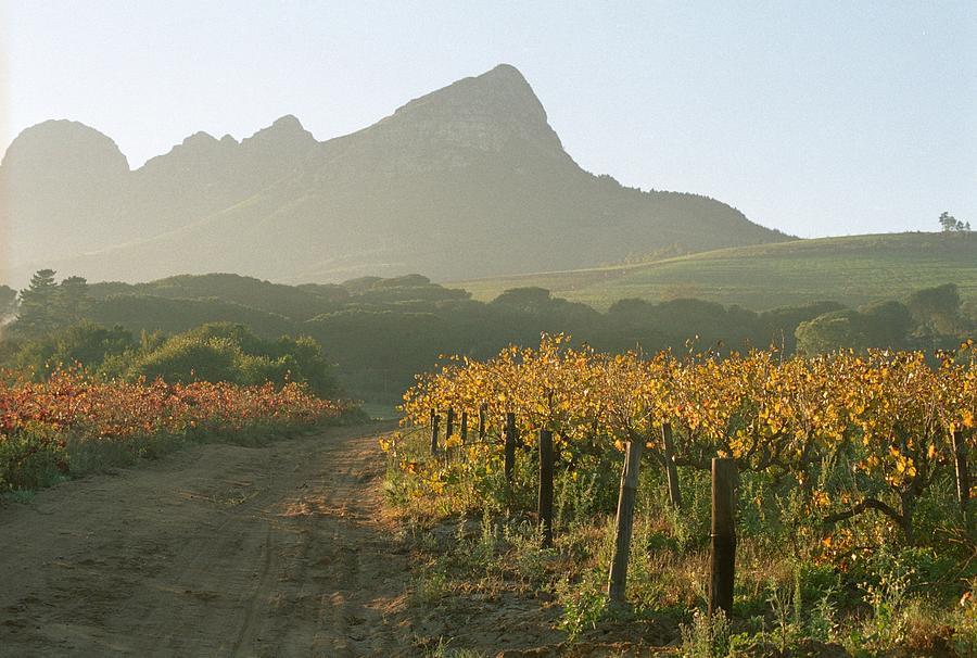 Helderburg Vineyard by Susie Rieple