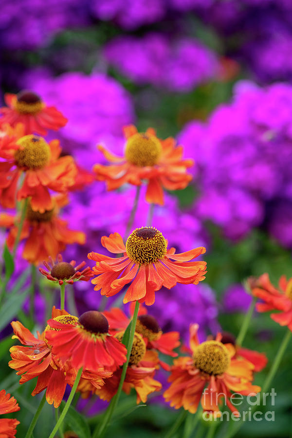 Helenium Mardi Gras  by Tim Gainey
