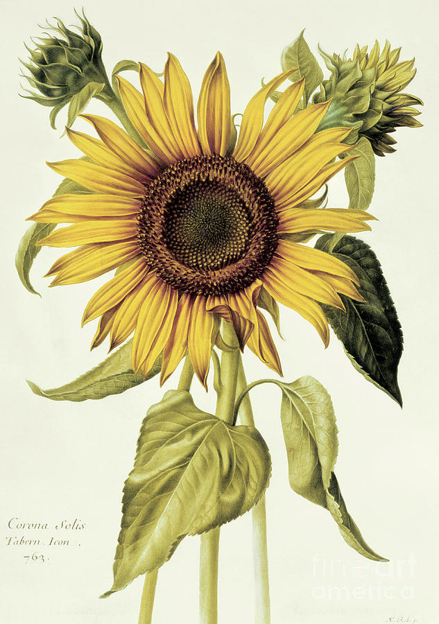 Sunflower Painting - Helianthus Annuus  Sunflower by Nicolas Robert