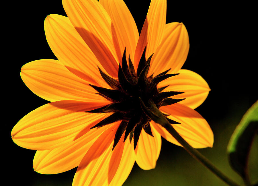 Helianthus by Dawn J Benko