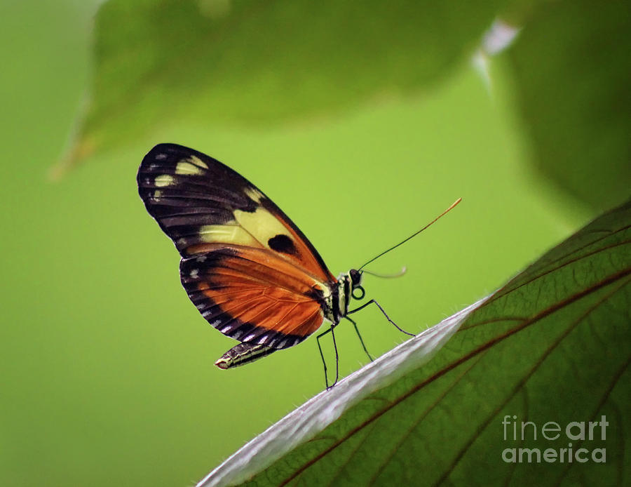 Heliconius Numata Butterfly 2019 by Karen Adams