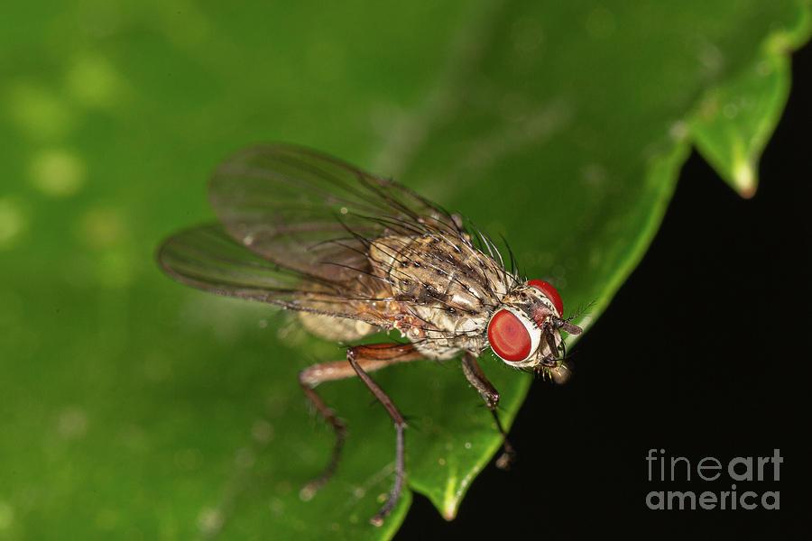 Helina Fly by Brian Roscorla