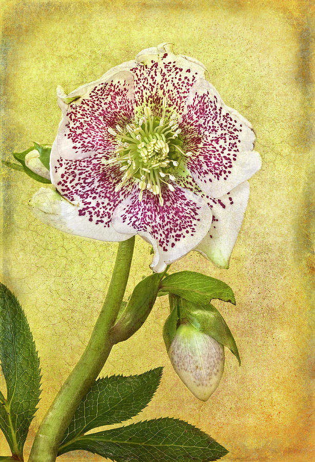 Hellebore Flower Photograph by © Leslie Nicole Photographic Art