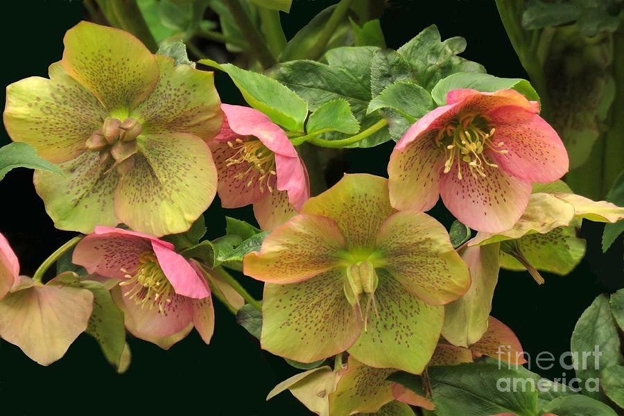 Helleborus grouping by Frank Townsley