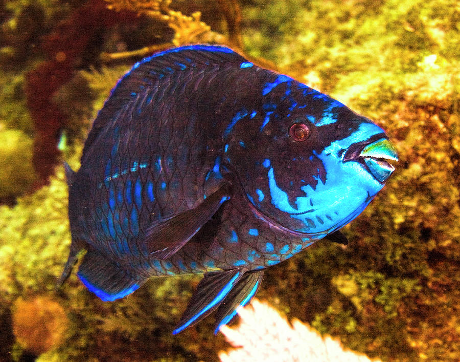 Hello Blue Parrot Fish by Paula Porterfield-Izzo