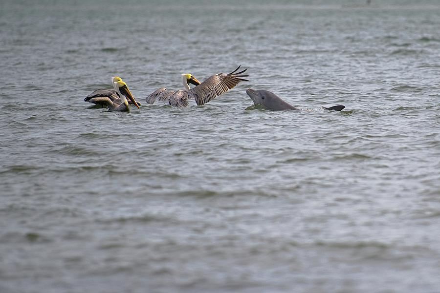 Hello Friends Pelicans and Dolphin by T Lynn Dodsworth