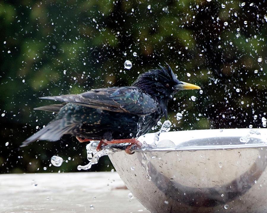 Hello Starling Photograph