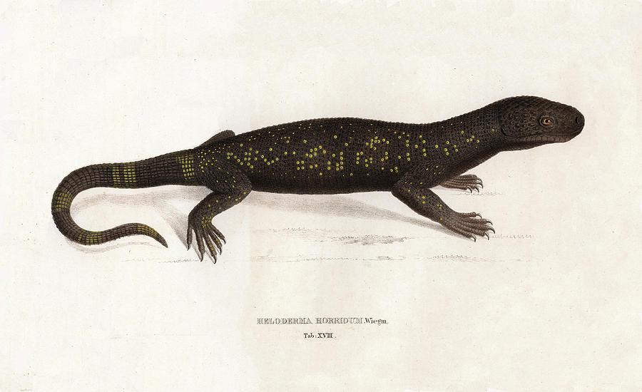 Heloderma horridum, Beaded Lizard by Unknown