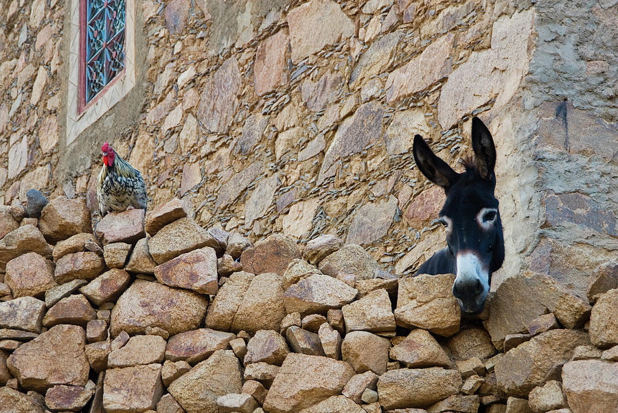 Hen And Donkey, Tizgui, Anti-atlas Photograph by Aldo Pavan