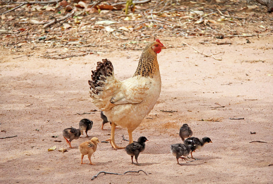 Hen With Chicks Photograph by Daniela Duncan