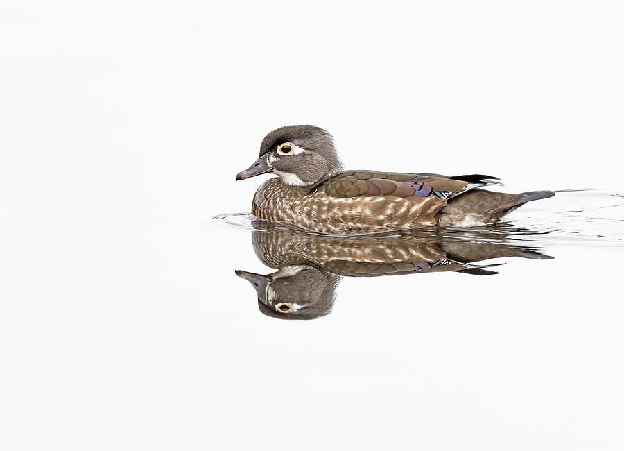 Hen Wood Duck by Jim Zablotny