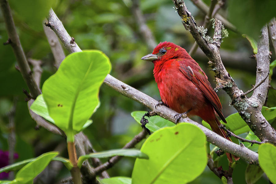 Hepatic Tanager Las Hermosas Chaparral Tolima Colombia by Adam Rainoff