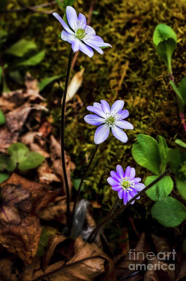 Hepatica in Bloom by Thomas R Fletcher