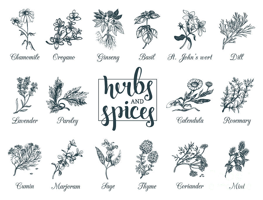 Spice Digital Art - Herbs And Spices Set. Hand Drawn by Vlada Young