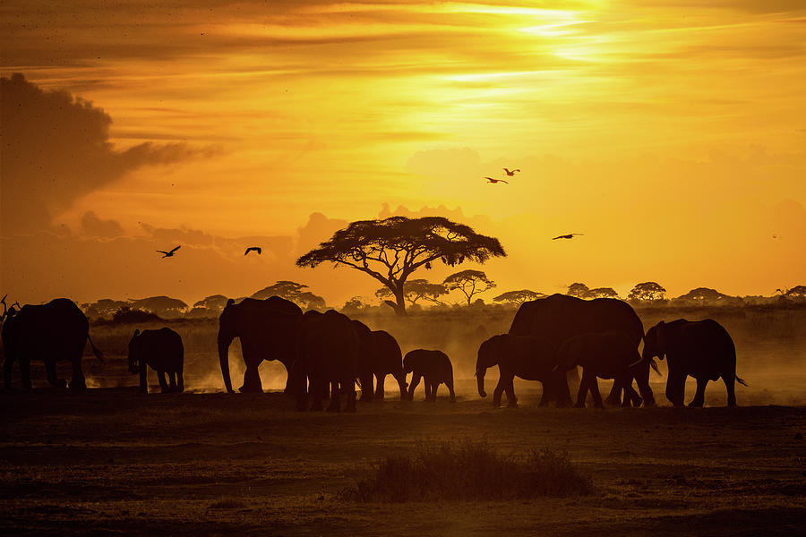Herd of African Elephants at Golden Sunset by Susan Schmitz