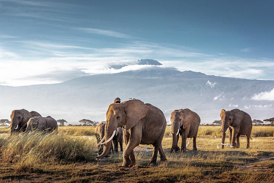 Herd of African Elephants in Front of Kilimanjaro by Susan Schmitz