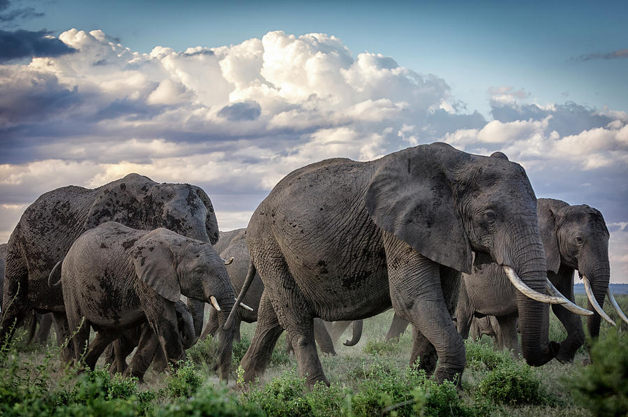 Herd Of African Elephants On The Move Photograph by Mike Hill