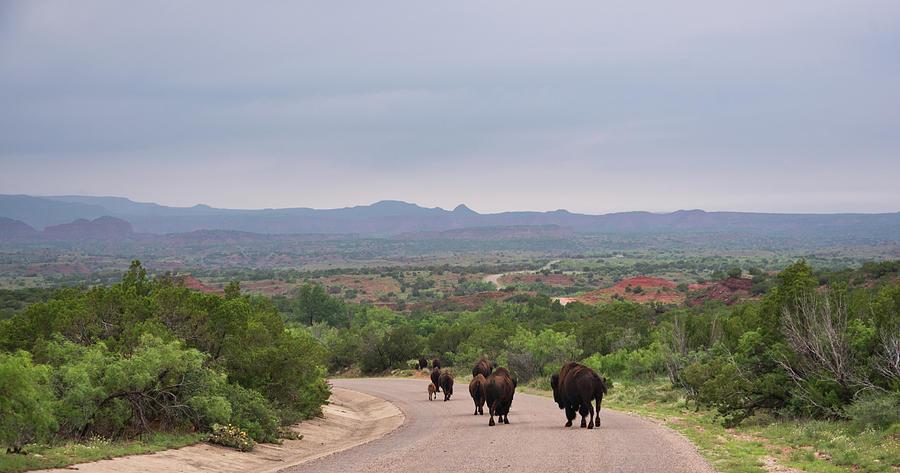 Herd Of Bison 2 by Andrea Anderegg