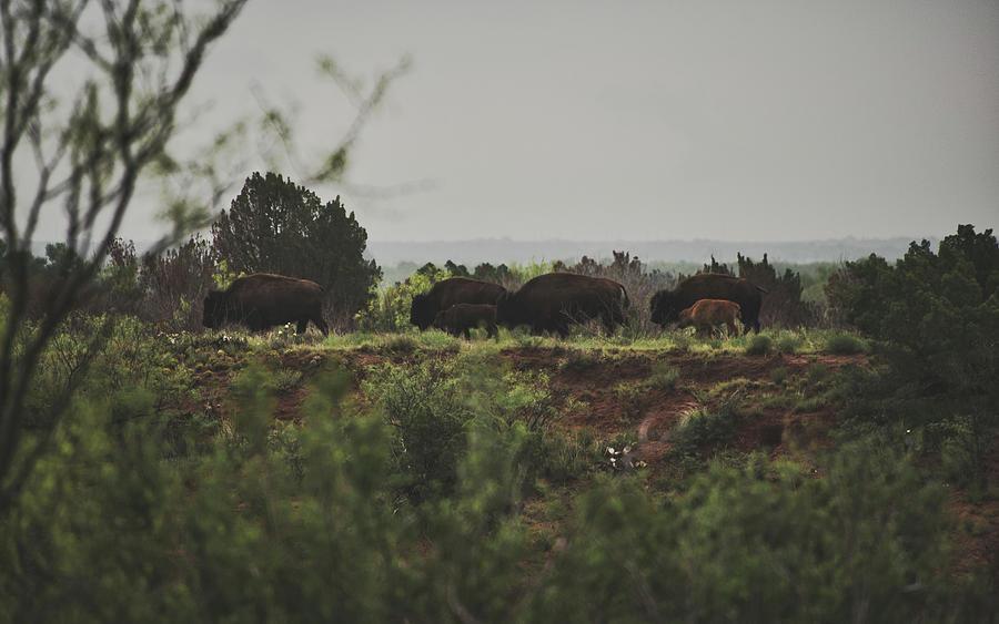 Herd of Bison by Andrea Anderegg