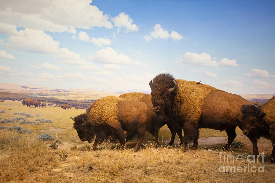Big Photograph - Herd Of Bison by Pricem