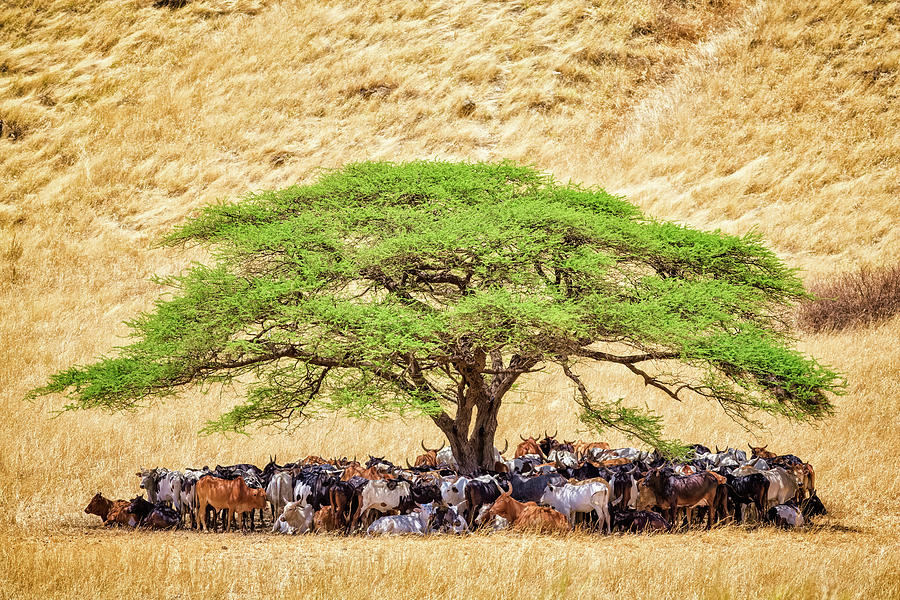 Herd Of Cattle Under Acacia Tree In A Photograph by Cinoby