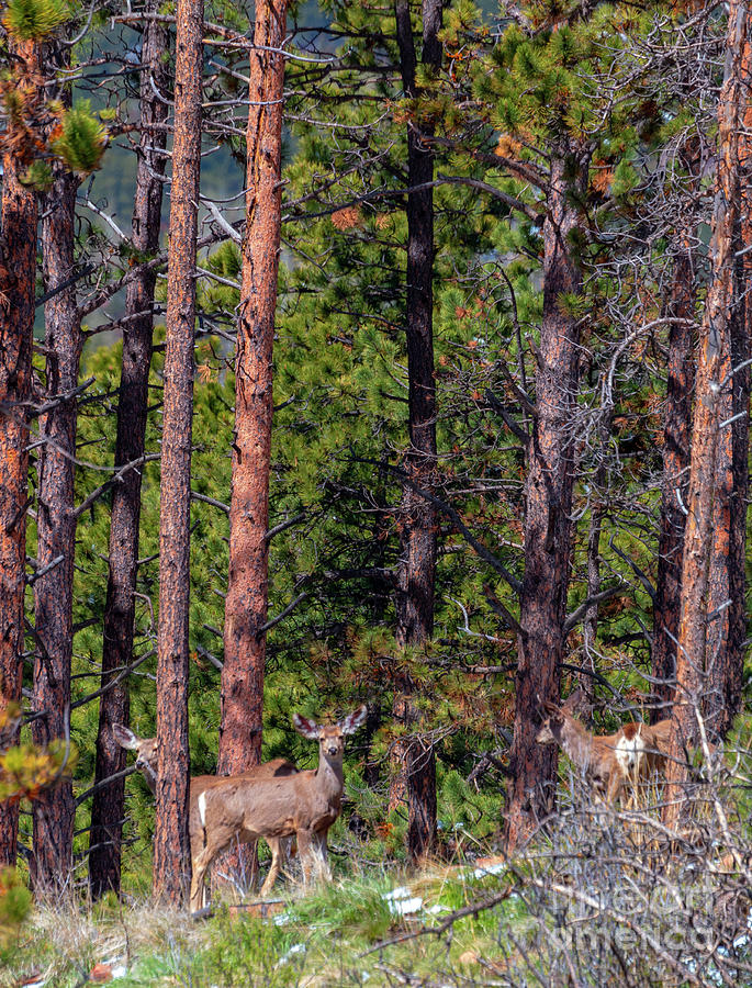 Herd of Colorado Springtime Mule Deer by Steve Krull