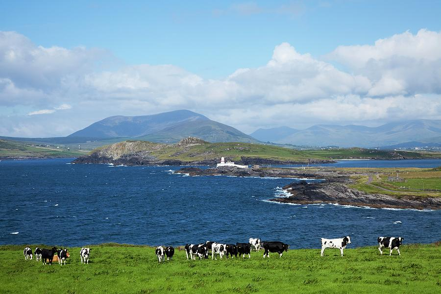Herd Of Cows Grazing The Coast Photograph by Design Pics / Peter Zoeller