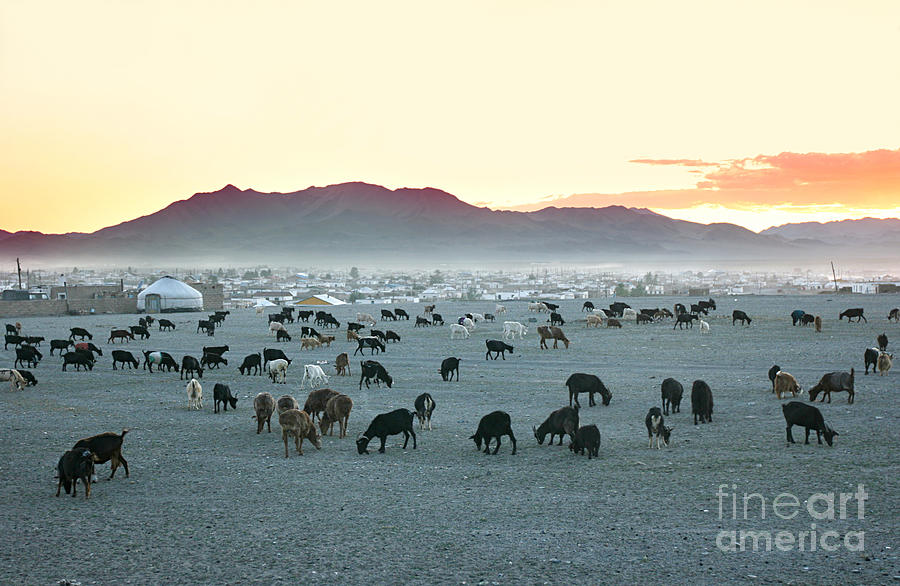 Tent Photograph - Herd Of Goats In The Sunset by Joyfull