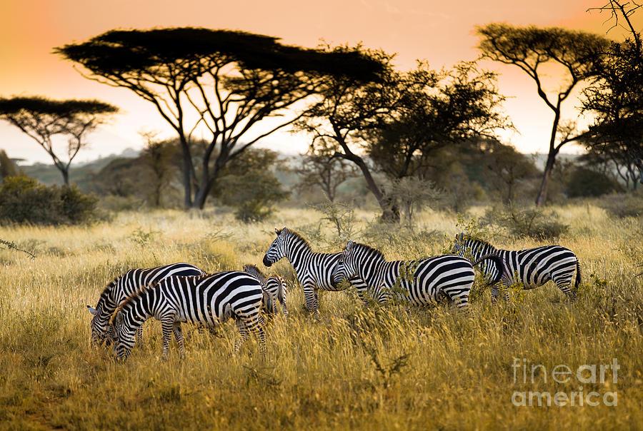 Tanzania Photograph - Herd Of Zebras On The African Savannah by Andrzej Kubik