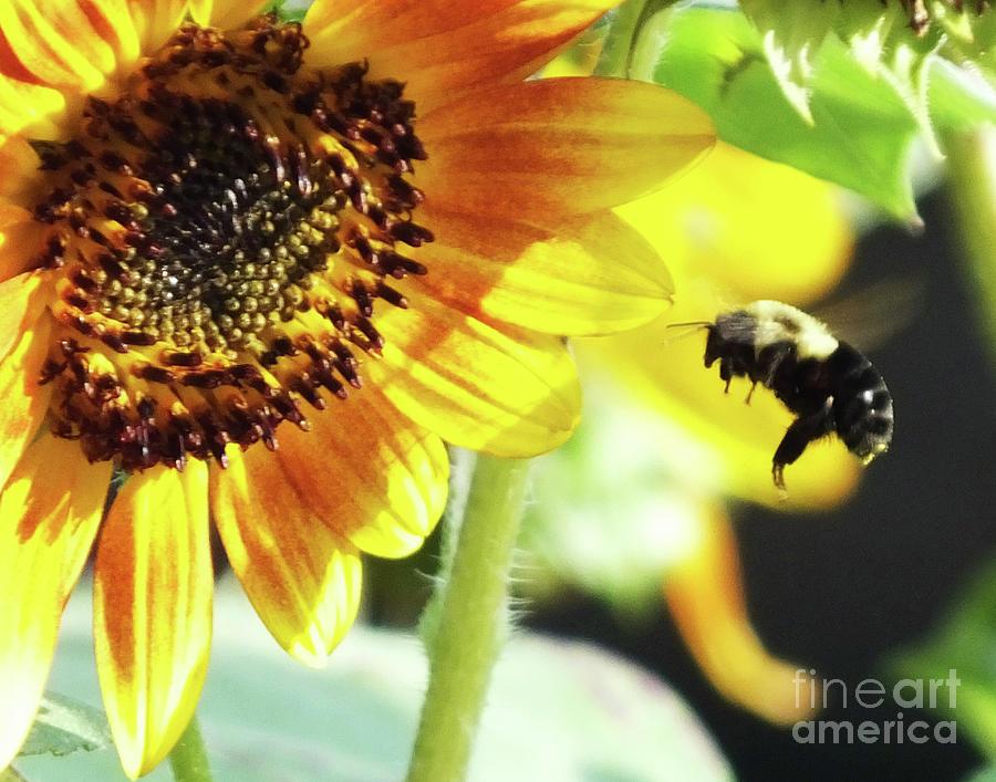 Here I bee   Sunflower 58 by Lizi Beard-Ward