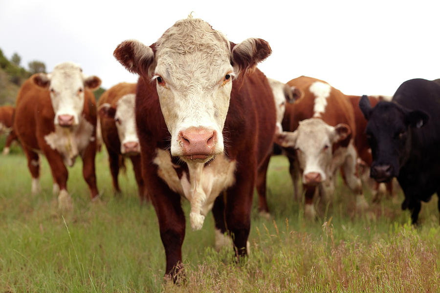 Hereford Cattle Photograph by John P Kelly