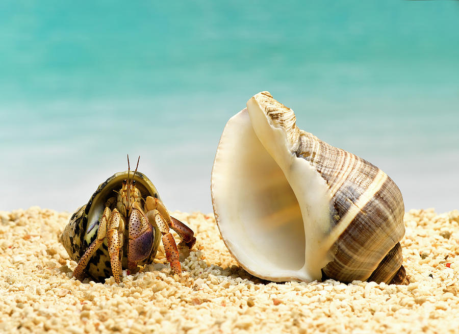 Hermit Crab Looking At Larger Shell Photograph by Jeffrey Hamilton