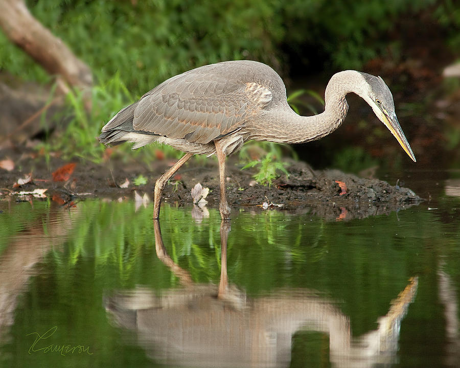 Heron Fishing by Tom Cameron