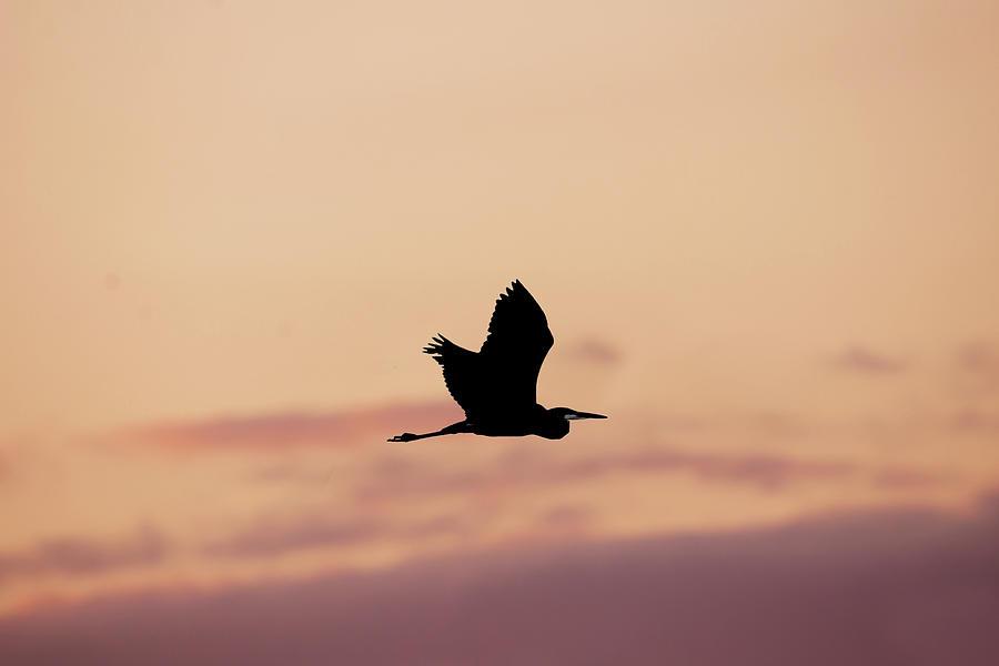Heron Flying At Sunset Photograph
