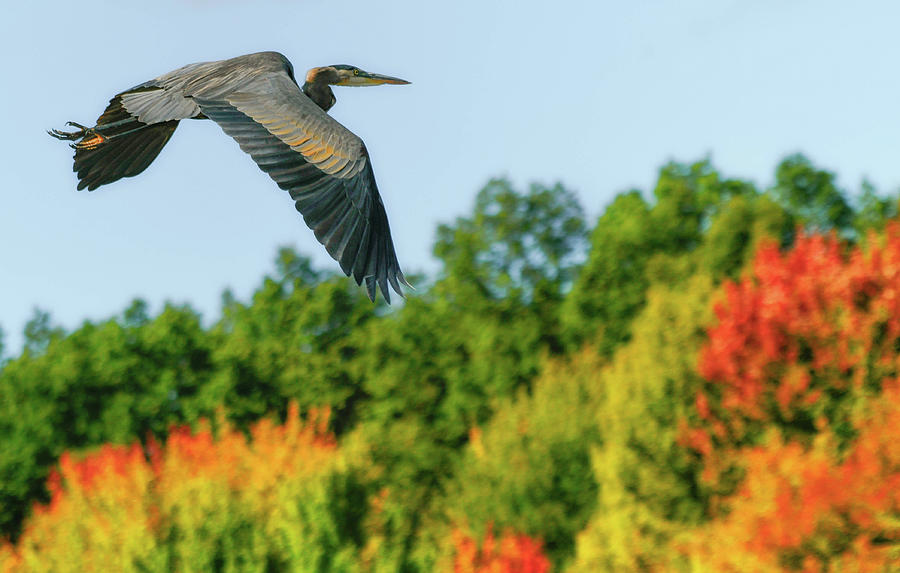 Heron in Autumn  by Richard Kopchock