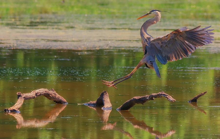 Heron Landing  by Richard Kopchock