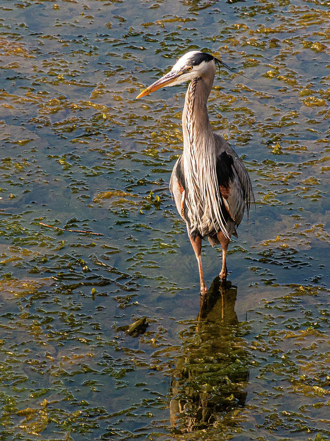 Heron Standing by Claude Dalley