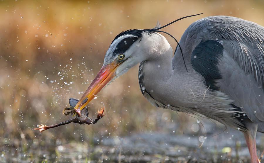Animals Photograph - Heron Vs Frog by Geir Jartveit