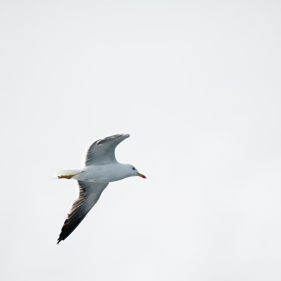 Herring Gull In Flight Photograph by Magnusson, Roine