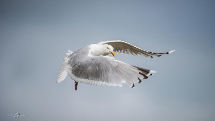 Herring Gull's flight by Torbjorn Swenelius