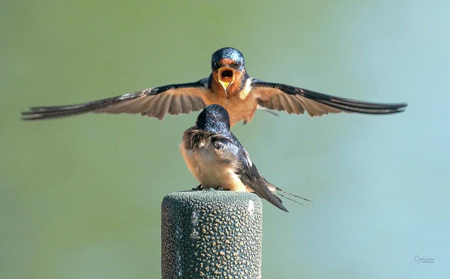 Hey, Babe, Let's Rock n Roll.  Barn Swallows by Judi Dressler