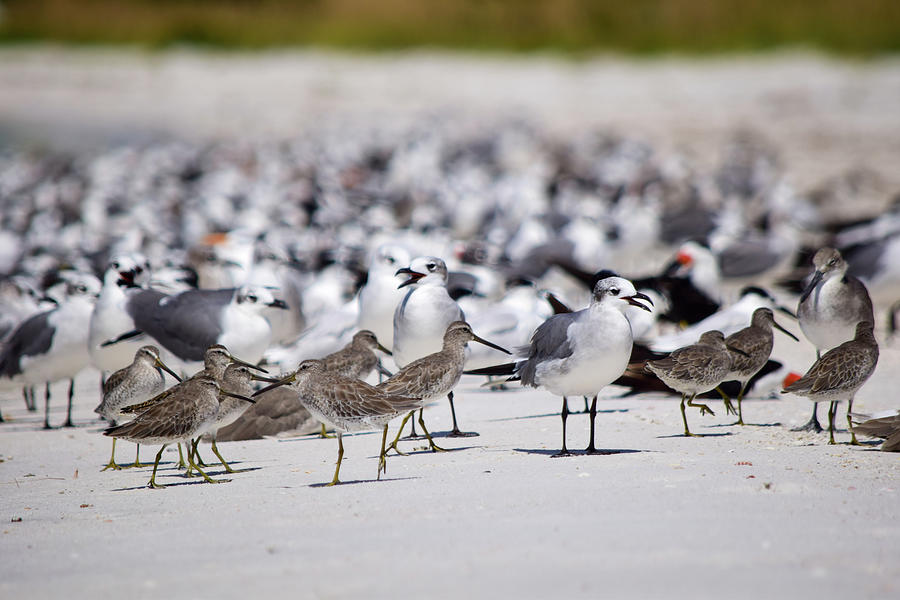 Hey, Who Invited The Willets? Photograph