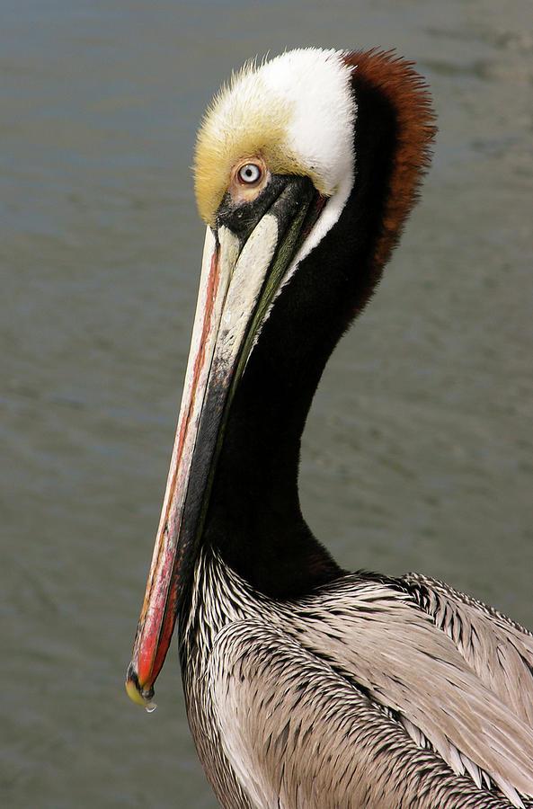 close up of california brown pelican by David Shuler