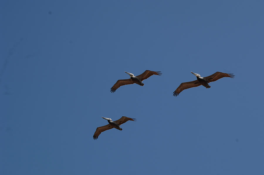 three pelicans in flight by David Shuler