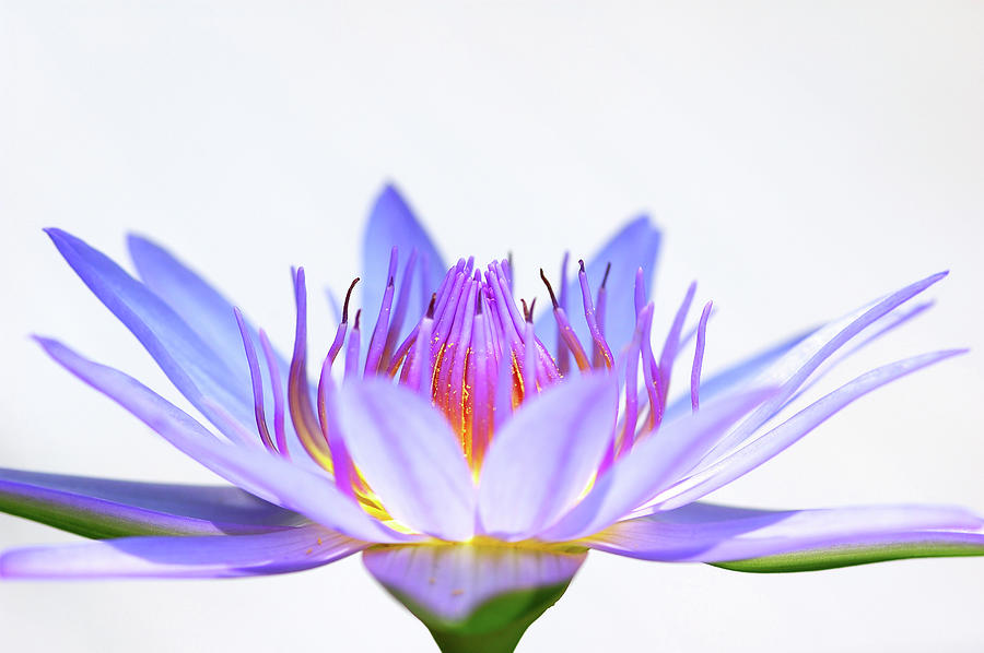 Hi-key Lotus Photograph by Pailoolom