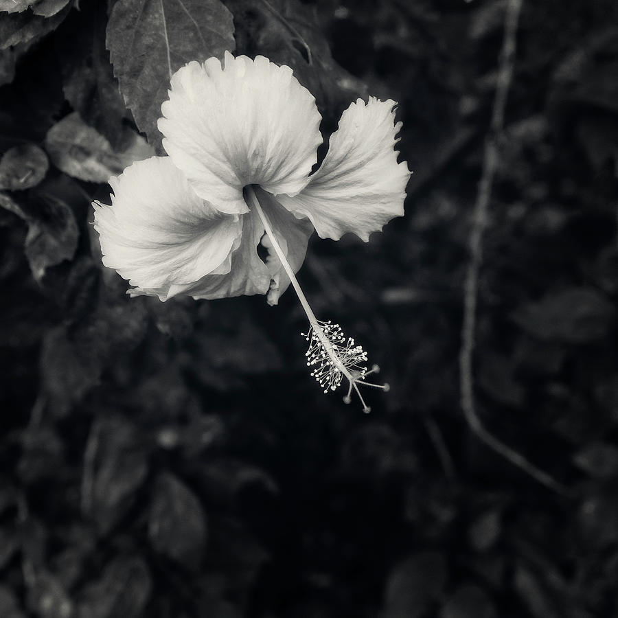 Hibiscus Flower in Black and White by Catherine Reading