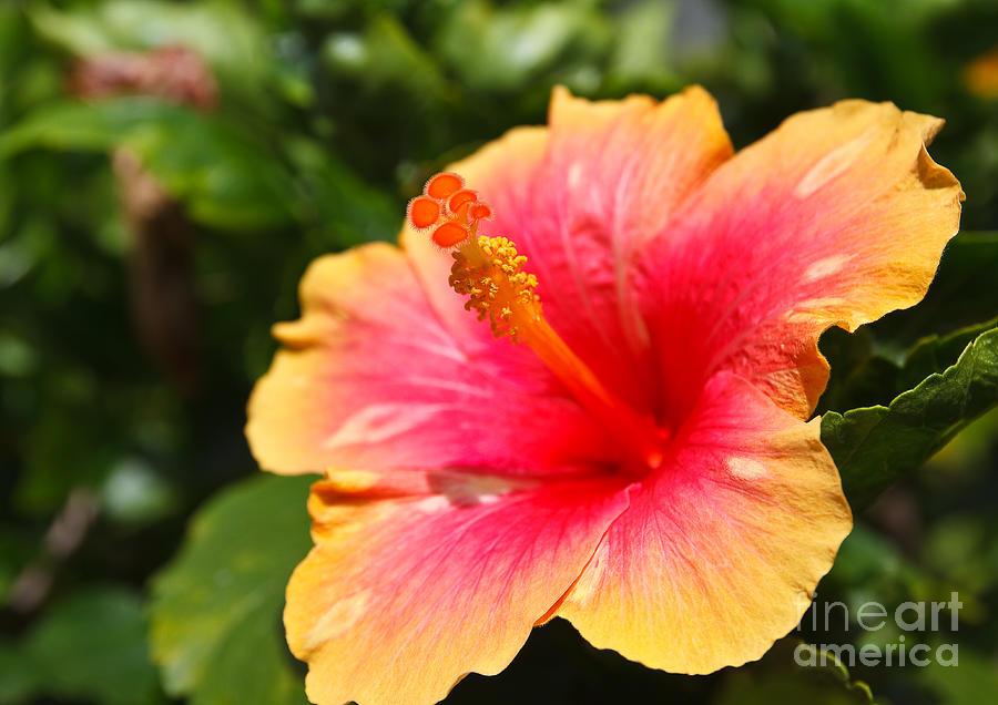 Beauty Photograph - Hibiscus Flower Pollen by Photonewman
