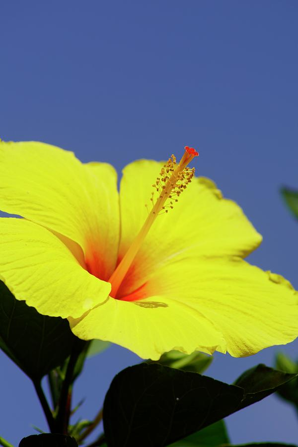 Yellow Flower Photograph - Hibiscus by Gillis Cone