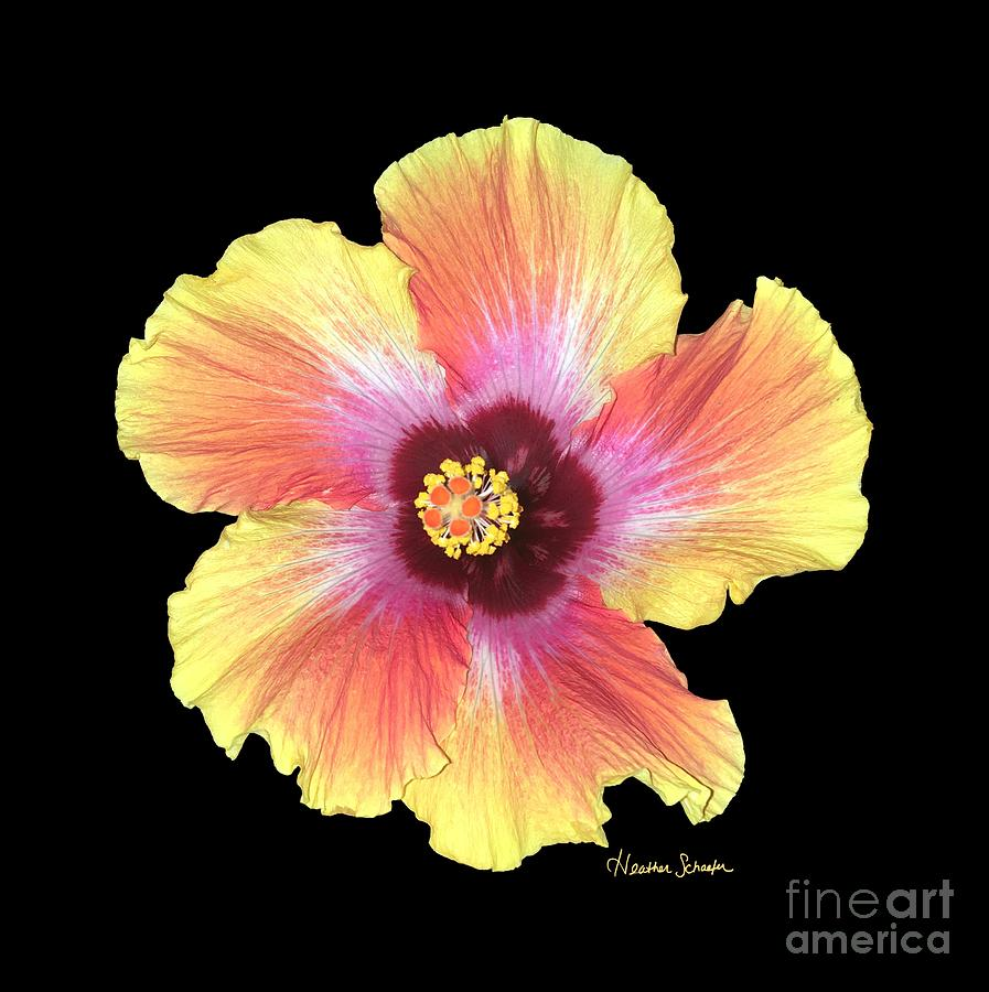 Hibiscus by Heather Schaefer