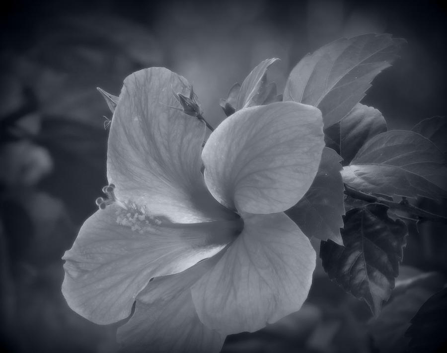 Hibiscus In Black And White Photograph By Kay Novy